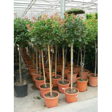Photinia fraseri red robin  'demi tige'