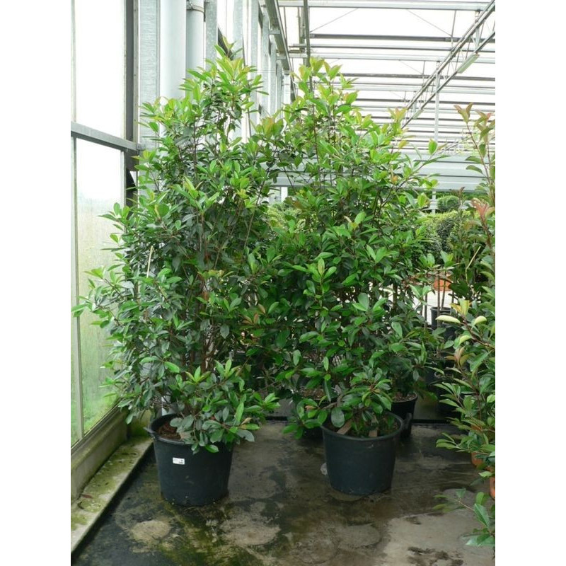 Photinia fraseri red robin - extra
