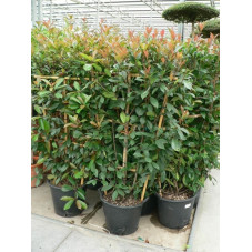 Photinia fraseri red robin 'espalier'
