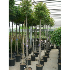 Photinia fraseri red robin tige 6/+