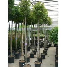 arbre tige circonférence tronc 8/+ cm - tige 190 cm + tête - (hauteur totale 300 cm) - pot de 35 litres