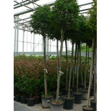 Photinia fraseri red robin tige 10/+