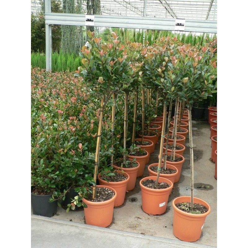 Photinia mini tige little robin