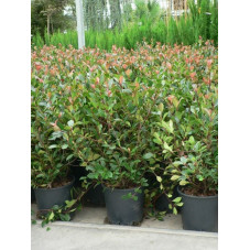 Photinia little red robin 50/+