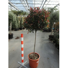 Photinia little red robin' mini tige'