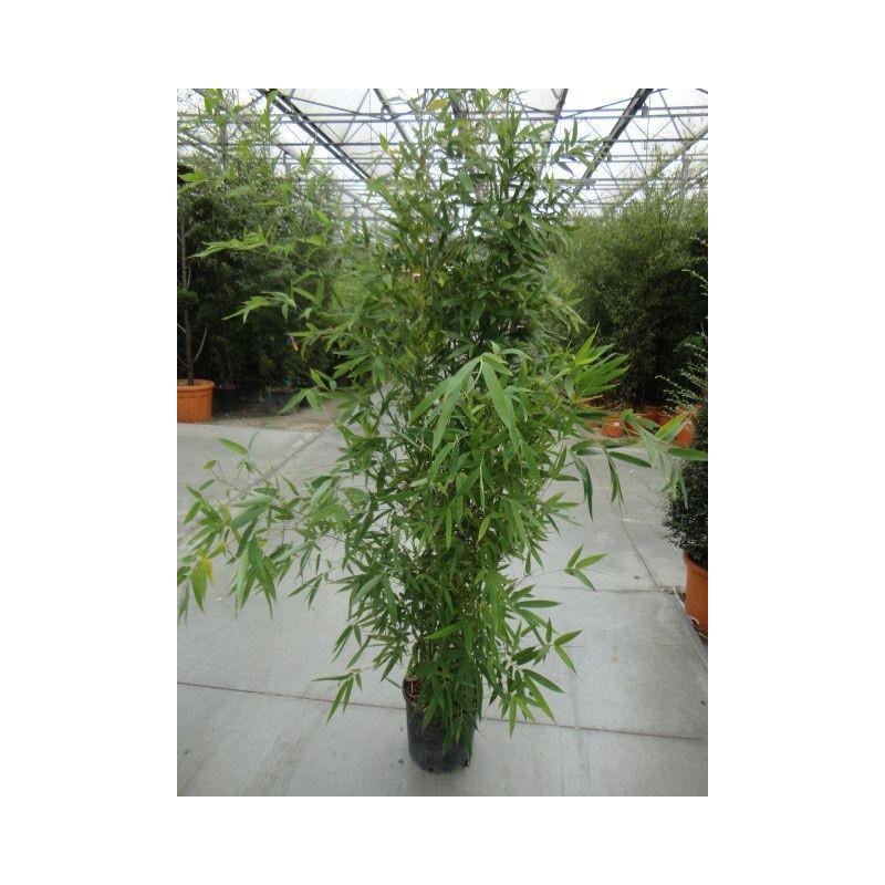Bambou doré - 150 cm
