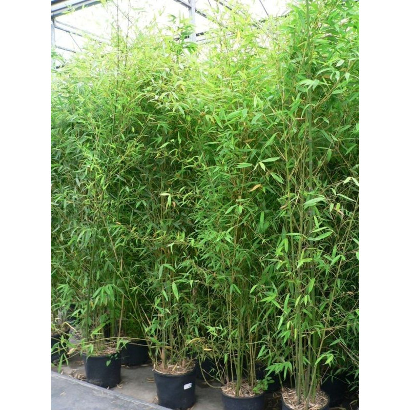 Bambou doré - 200 cm