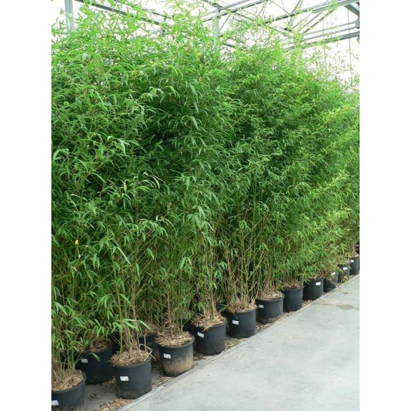 vente de bambou dor 250 cm phyllostachys aurea. Black Bedroom Furniture Sets. Home Design Ideas