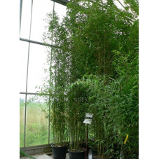 Bambous doré - 400cm