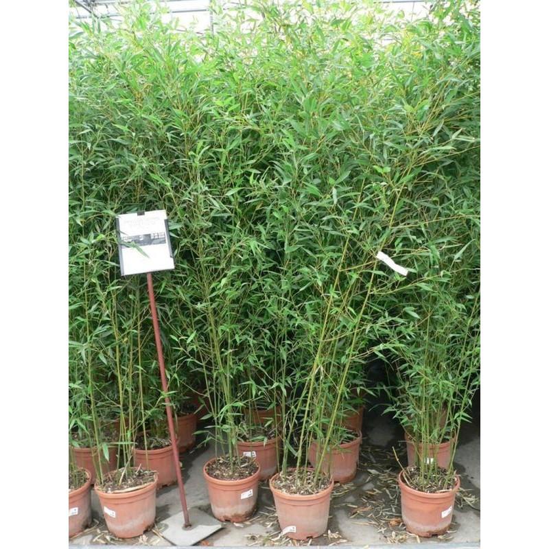 bambou moyen bissetti