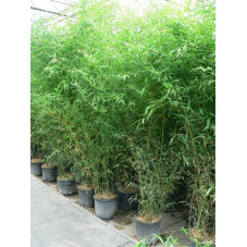 Phylostachys bissetti 250/+