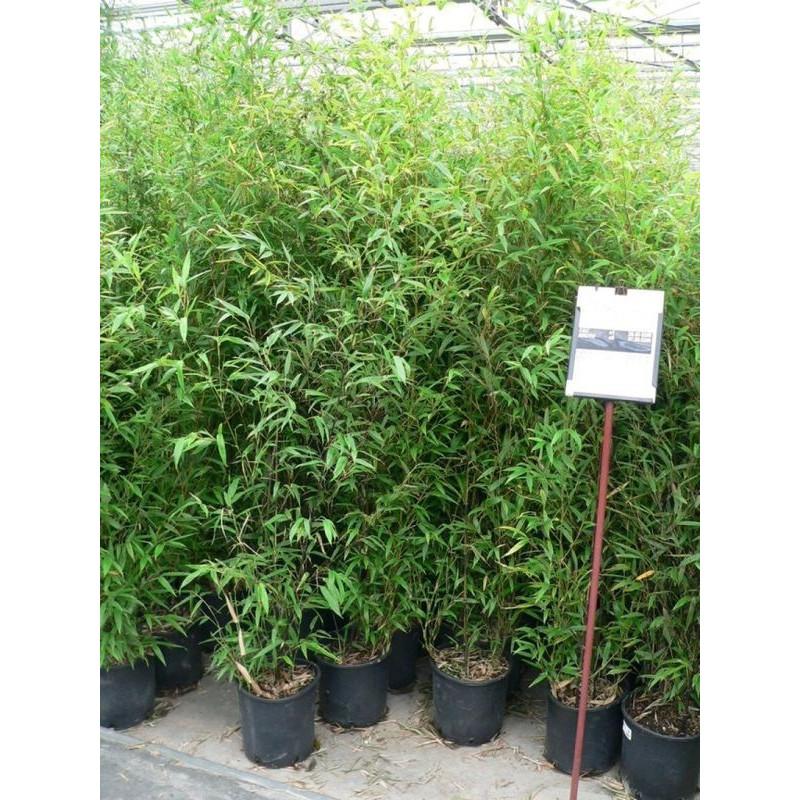 Phylostachys nigra - bambou noir 175 cm