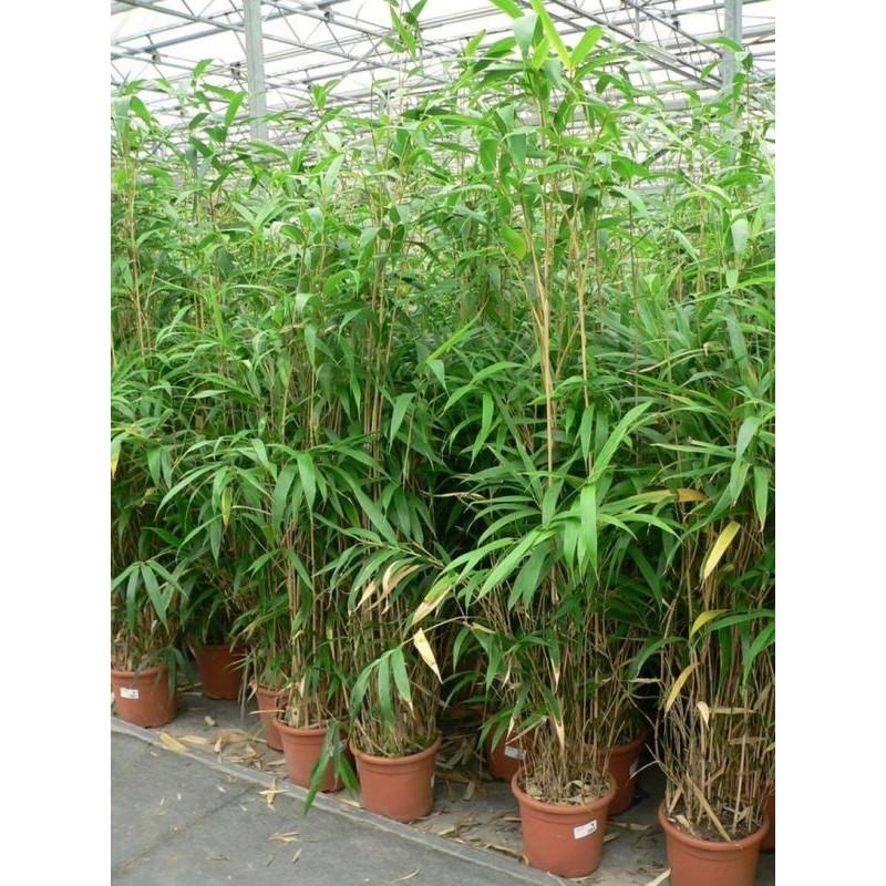 bambou du Japon