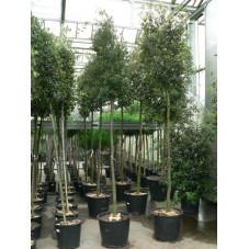 chêne vert persistant