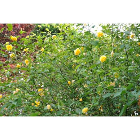 Kerria japonica( coréte du japon )