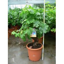 Vitis - vigne deco bonzaï  35l