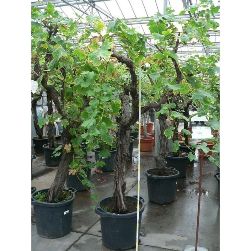 vigne - sur tronc