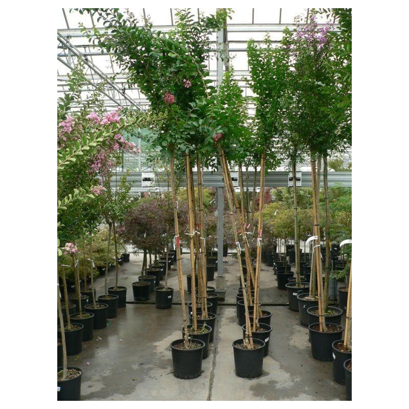Lilas des indes - tige circ.6 cm