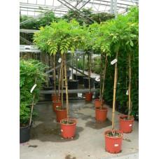 Wisteria chenensis - glycine parasol