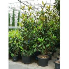 Magnolia grandiflora gallisoniensis