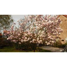 Magnolia soulangeana rub.
