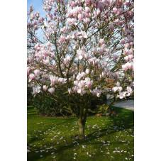 Magnolia soulangiana
