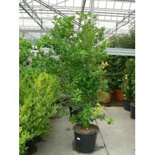 Magnolia loebneri ' leonard messel'