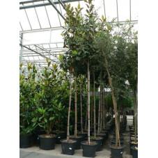 "Magnolia grandiflora "" galissoniensis ""tige"