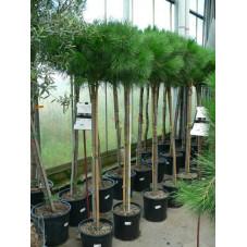 Pinus pinéa - pin parasol