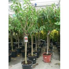 Cerisier gros sujet 16/+ cont.50l