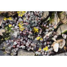Sedum spathulifolium purpuréum
