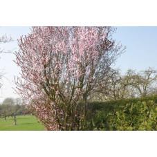 Prunus pissardi nigra
