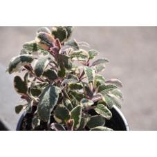 Sauge tricolore  - Salvia officinalis tricolor