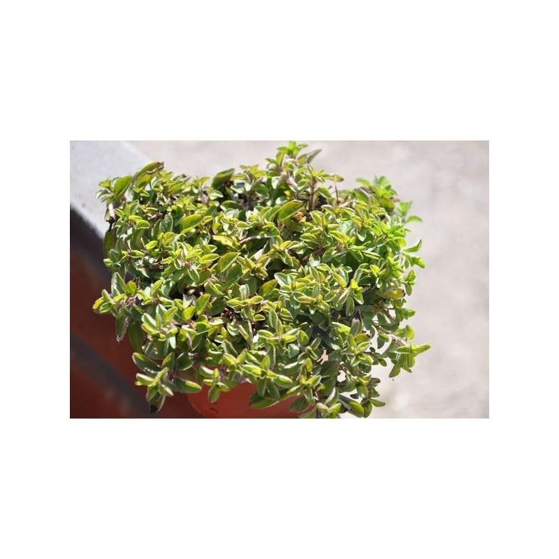 Origane compact  - Origanus vulgare compactum