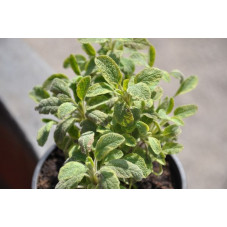 Sauge jaune  -  Salvia officinalis aurea