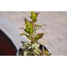 Menthe poivrée  - Mentha spicata