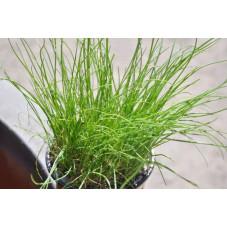 Ciboulette  -  Allium schoenoprasum