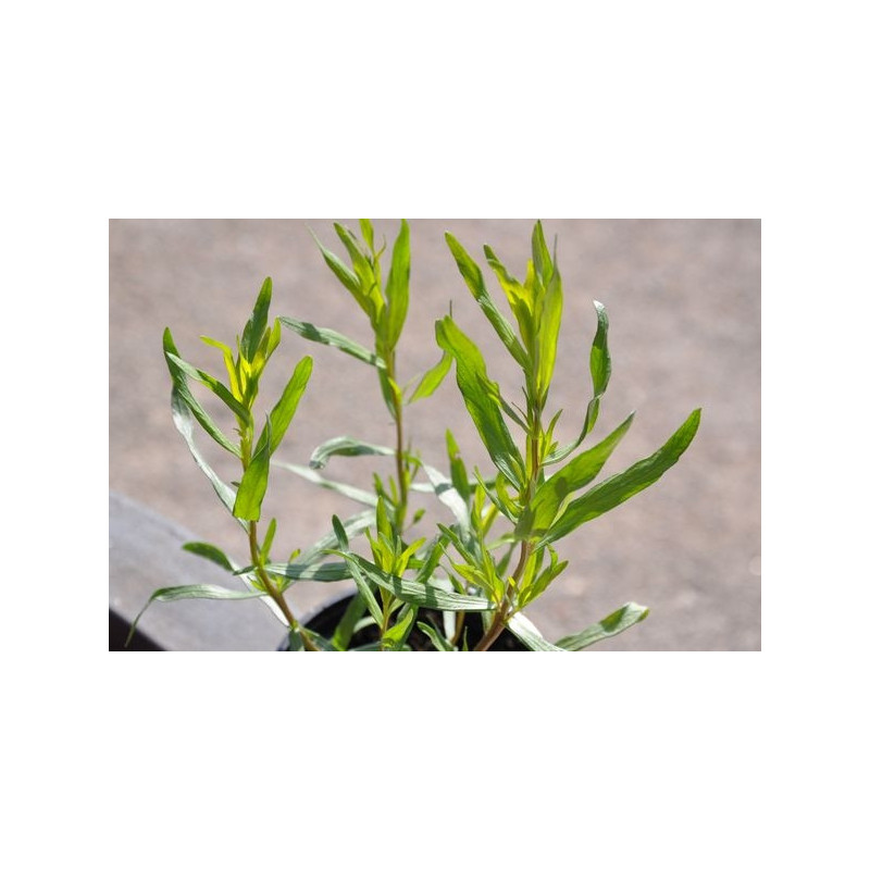 Estragon  - Artemisia dranunculus