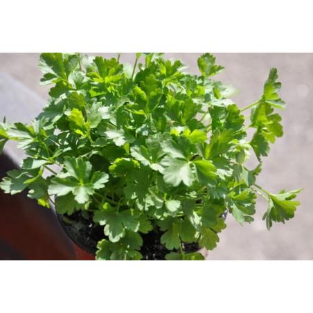 Persil plat  -  Petroselinum crispum neapolitanum