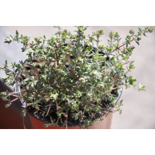 Thym orange  -  Thymus fragrantissima