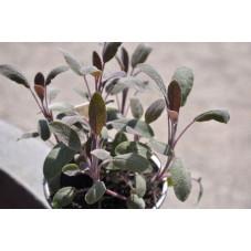 Sauge à feuilles rouges - Salvia purpurascens