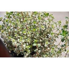 Thym argenté  - Thymus citri. silver queen