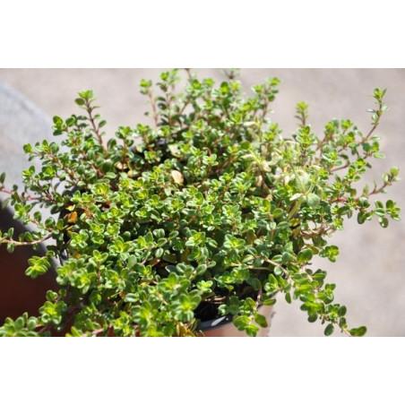 Thym doré  - Thymus citriodorus aurea