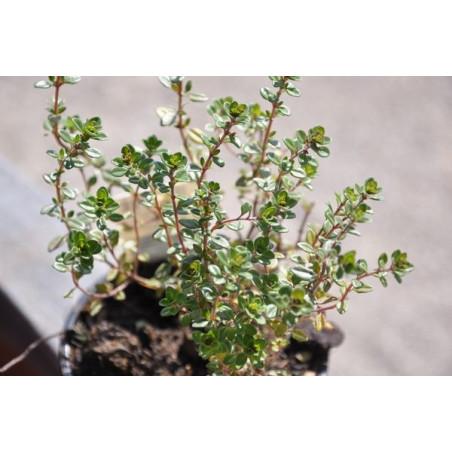 Thym citron  - Thymus citriodorus