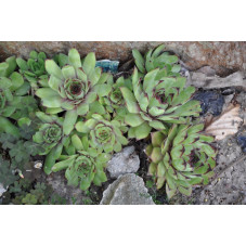 Sempervivum calcaréum
