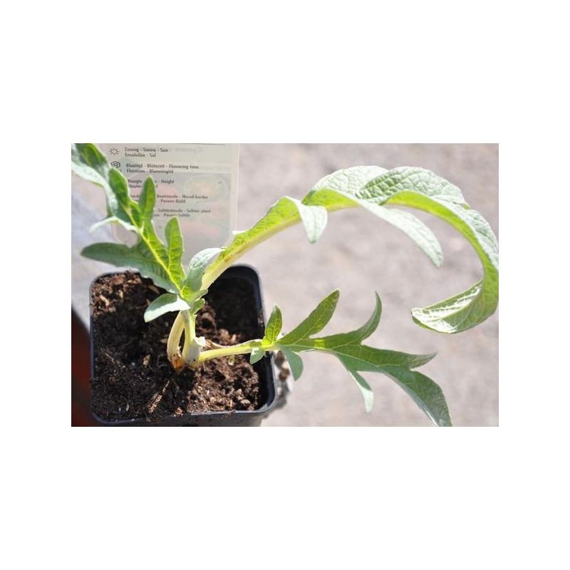 Artichaut commun  - Cynara scolymus