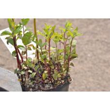 Menthe poivrée  - Mentha piperata