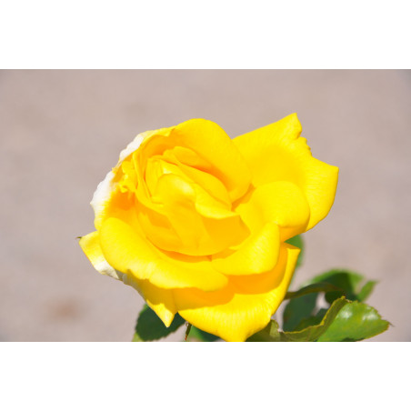 Rosier jaune polyantha  - all gold