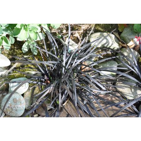"""Ophiopogon planiscapus """"nigrescens"""""""