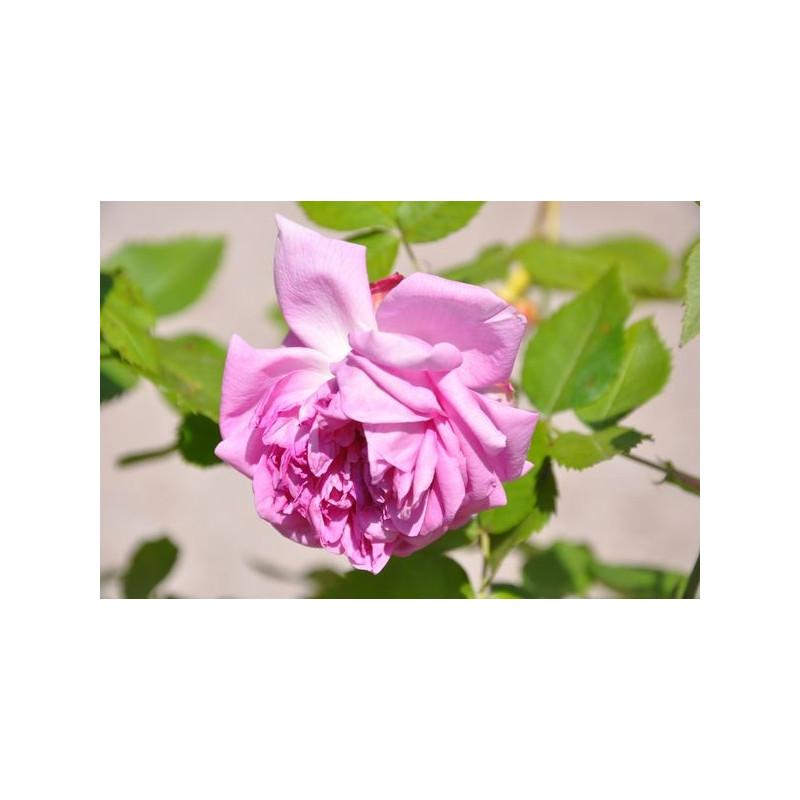 Rosier rose à grosses fleurs - Louise Odier